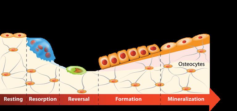 Bone remodelling process